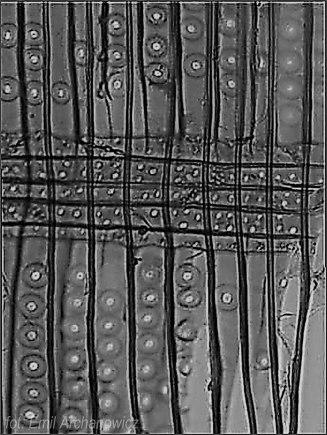 przekrój promieniowy świerk (pole krzyżowe z charakterystycznymi jamkami piceoidalnymi - to te najmniejsze kółeczka)
