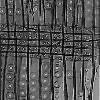 drewno z przymrużeniem oka - świerk makro promieniowy pole krzyżowe