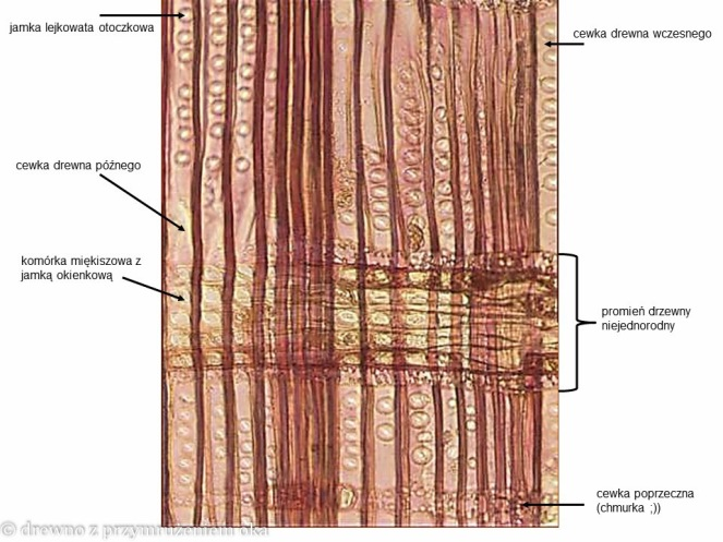 sosna promieniowy mikro-2