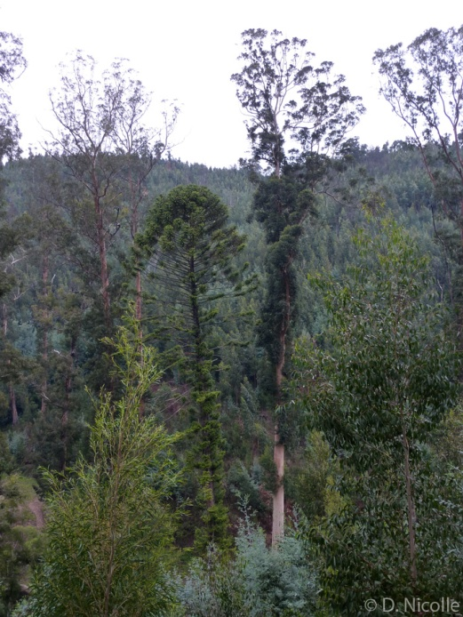 Karri-Knight-Eucalyptus-diversicolor-tallest-tree-Europe
