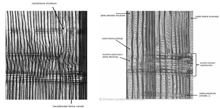 porównanie zdrowej i napromieniowanej sosny