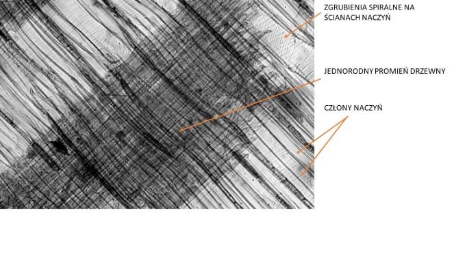 lipa promieniowy mikro